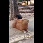 ふみふみ攻撃炸裂!カピパラを虜にする猫のマッサージ師