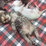まさに天使!無防備なへそ天姿で眠る猫の赤ちゃんたち