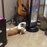 新たな遊びを発見にゃ!同居猫を自力でぐるぐる回す器用なにゃんこ