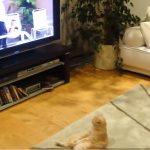 休日のお父さんのようにテレビを夢中で見るおっさん猫