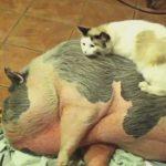愛情が止まらないにゃ!豚毛でブラッシングをするスリゴロにゃんこ