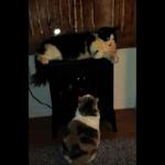 猫ちゃんの背後に注目!2匹のにゃんこを襲ったドリフのような珍パプニング
