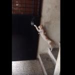 我慢強さもピカイチ!階段を活かして玄関ドアをノックする賢い猫
