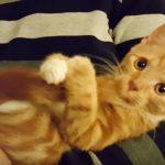 ずっと舐めていたいにゃ!尻尾をおしゃぶり代わりに活用するチャトラ猫