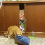 失敗しても諦めにゃい!寝床にクッションを持ち込みたい猫の奮闘光景