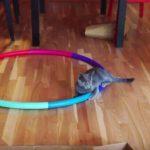 まるでハムスター!?猫が発見したフラフープの新しい遊び方