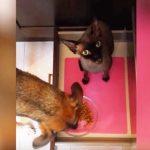 テーブルに注目!ご飯に夢中なワンちゃんを襲った猫ちゃんからの斬新な妨害