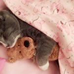 もう離さないにゃ!テディベア×猫の愛らしすぎる睡眠タイム