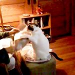 私を見て!飼い主さんの膝に座りたくて新聞を叩きつぶす猫