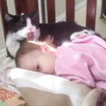 赤ちゃんのフワフワ髪の毛を毛づくろいしてあげる優しいハチワレ猫