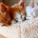 一心不乱に猫ベッドをちゅぱちゅぱする3匹の子猫たち
