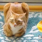 こんがり美味しそう!ユニークなポーズで7種のパンに変身する茶白猫