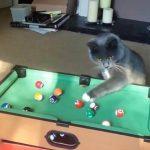 独自のルールも存在!?癒し度満点な猫界のビリヤードプレイヤーたち