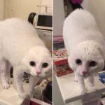 耳が行方不明?!飼い主さんのスクワットに驚き顔がまんまるになった白猫