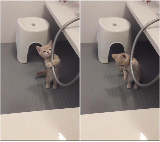 お風呂に入りたそうな子猫マンチカ