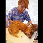 早く逃げるにゃ!獣医さんから友達を救出する病院嫌いなベンガル猫