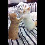 短い手で猫パンチを炸裂!見ていてほっこりなマンチカン同士のじゃれ合い