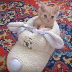 茶トラファンも必見!もこもこルームシューズを居場所にする子猫