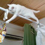 衝撃的瞬間を目撃!取り上げられたスナック菓子を必死に奪おうとする白猫さん