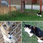 猫 vs ライオン!無謀すぎる戦いを挑むメス猫さんに飼い主も苦笑