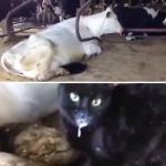 微笑ましい泥棒猫さん発見!母牛さんからミルクを直飲みする黒猫