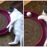 ふっくら猫さんが超省エネなボール遊び!動かないけどキッチリ楽しんでるニャ!