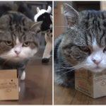 箱大好きニャンコ、極小箱に果敢に挑戦して自分の限界点を知る!