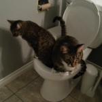 人間用トイレで用を足す2匹のニャンコ!なぜ2匹同時なのかは不明