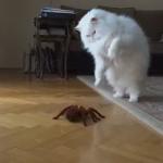 気品溢れるペルシャ猫さん!クモ型ロボットに反応して自分もメカっぽい動きに