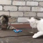 ニャンだこれ!?ちょっとずつハンドスピナーの楽しさに目覚めていく子猫たち