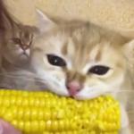 一緒に食べるとおいしいニャ!子猫と飼い主さんがトウモロコシをガブリ!