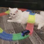 懐の深い長毛猫さん!飼い主の遊び心を理解してかミニカーをお腹の上で走らせる