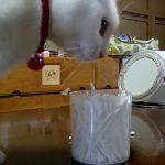 にゃんだこれ!?綿棒で遊ぶ白猫ちゃんの好奇心が大爆発