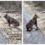 カナダ発!オオヤマネコの喧嘩が猫そっくりでおもしろ可愛い